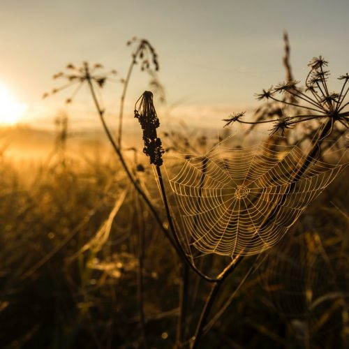 A prairie sunrise or sunset, golden light, a blurred glimpse of tall prairie grasses, maybe some other plants, crops. In the foreground, in focus, a spiderweb extends between stalks of a plant.